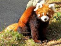 大崎公園子供動物園のレッサーパンダ紀行 - (続)レッサーパンダ紀行
