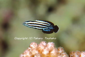 #74 ミヤケベラ - 沖縄本島のベラ