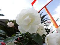 昨日、資生堂の薔薇と何時ものカモを見に行きました。 - 写真で楽しんでます!