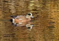地元でアメリカヒドリ - THE LIFE OF BIRDS ー 野鳥つれづれ記