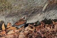 ツグミ、シメ、カシラダカ、アトリ - 上州自然散策2
