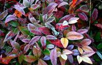 葉っぱについた霜 - 旅のかほり