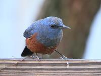庭の訪問者 - TACOSの野鳥日記