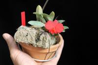 S.brevipedunculataコルク付け - ラブ蘭ソフロ