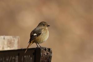ジョウビタキ♀近くで撮る事が出来ました - 私の鳥撮り散歩