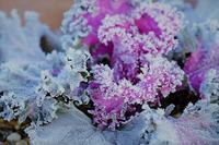 霜降る葉牡丹 - きずなの家創り