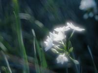新宿御苑のペーパーホワイト3 - 光の音色を聞きながら Ⅳ