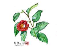 リベンジ 藪椿Ⅱ - 清治の花便り