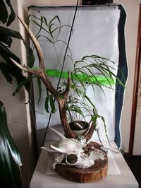 植物「フィカス・ウンベラータとシッサス・エレンダニカ追加」 - 孤影悄然