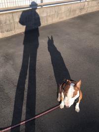 遅めの朝散歩 - ミニチュアブルテリア ダージと一緒3
