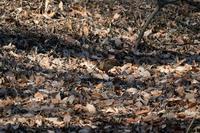 ■ヤマシギ蚯蚓を食う19.1.26 - 舞岡公園の自然2