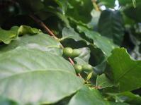 コーヒーのキの実をご覧いただけます - 神戸布引ハーブ園 ハーブガイド ハーブ花ごよみ