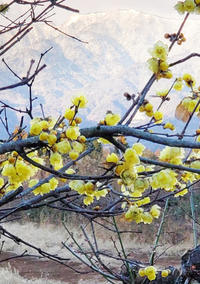 蝋梅と雪 - 八風農園 雅 鈴鹿連峰の御在所岳の麓で自然食品を製造販売してる農園です!