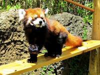 のいち動物公園のレッサーパンダ紀行 - (続)レッサーパンダ紀行