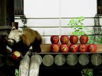福岡市動物園のレッサーパンダ紀行 - (続)レッサーパンダ紀行