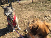 カラカラ続き - 琉球犬mix白トゥラーのピカ