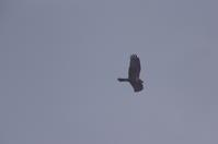 鳥撮り北部印旛沼 - (鳥撮)ハタ坊:PENTAX k-3、k-5で撮った写真を載せていきますので、ヨロシクですm(_ _)m