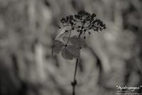 """hydrangea"" - ~まきち写真工房~"