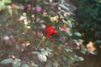 Rose‥ - Amana Films