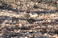 ■ヤマシギ2羽が接近19.1.27 - 舞岡公園の自然2