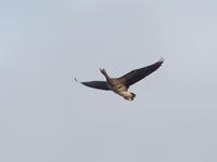 マガンが舞う福島潟 - コーヒー党の野鳥と自然 パート2