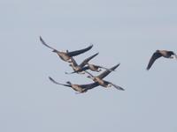 福島潟ではオオヒシクイも元気 - コーヒー党の野鳥と自然 パート2