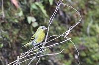 マヒワ - 上州自然散策2