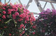 南国ムード満載のブーゲンビレア - 神戸布引ハーブ園 ハーブガイド ハーブ花ごよみ