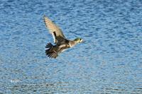 トモエガモも飛んで池に - barbersanの野鳥観察