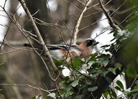 里山のカケスさん - 鳥と共に日々是好日