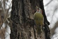 里山のアオゲラさん - 鳥と共に日々是好日