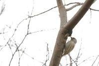 白化個体【コゲラ・タゲリ】 - 鳥観日和