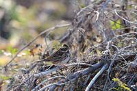 カシラダカ01月27日 - 旧サンヨン野鳥撮影放浪記