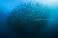 アジ玉 - Diving Life ~Aita pe'a pe'a~