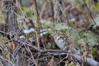 多くの野鳥が居たこともあるのだが…トラツグミ、カヤクグリ、ルリビタキ、アオジなど - 上州自然散策2