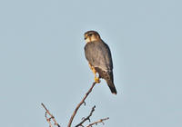 ・コチョウゲンボウ(Ⅱ) - 鳥見撮り
