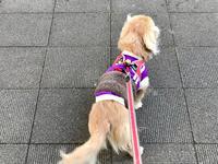 19年1月29日 寒風のひるんぽ&あんずの成長! - 旅行犬 さくら 桃子 あんず 日記