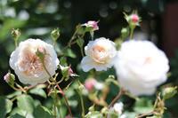 ちょこっと誘引★ジオルブライトンランブラー - my small garden~sugar plum~