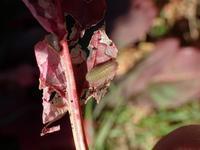 ベニシジミの幼虫探し - 蝶超天国