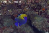 奴さんだよ~ナメラヤッコ幼魚、スミレヤッコ~ - 池ちゃんのマリンフォト