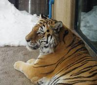1月28日の円山動物園のトラとホッキョクグマ - 黄金絹毛鼠(コガネキヌゲネズミ)