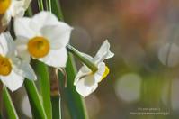Narcissus*Ⅱ -秘密の花壇- - It's only photo 2