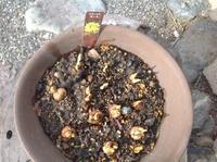クロッカス - カピパラと日本蜜蜂