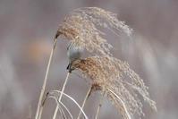 オオジュリン - 風のささやき