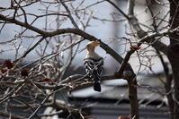 噂のヤツガシラにやっと逢えました - 私の鳥撮り散歩
