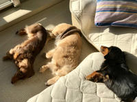 19年1月30日  サンニンで日向ぼっこ! - 旅行犬 さくら 桃子 あんず 日記