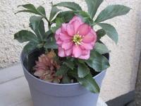 掘り出し物クリロー&バレンタインカラーの花 - bowerbird garden ~私はニワシドリ~