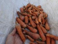 今日は人参の収穫(南国畑) - 化学物質過敏症・風のたより2
