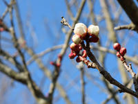 1月の終わりの裏山で〜梅の開花〜 - CROSSE 便り