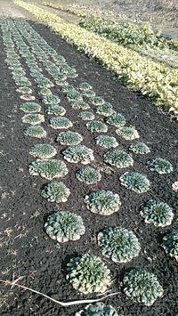冬の野菜 - 南阿蘇 手づくり農園 菜の風